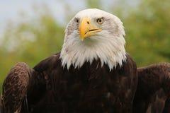 Eagle calvo, mascotte di Crystal Palace FC Immagini Stock