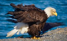Eagle calvo nel vento Fotografia Stock