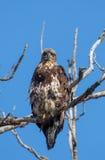 Eagle calvo no maduro Foto de archivo libre de regalías