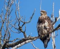 Eagle calvo no maduro Foto de archivo