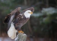Eagle calvo posato Fotografia Stock Libera da Diritti