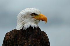 Eagle calvo que hace frente a la derecha Fotografía de archivo libre de regalías