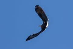 Eagle calvo que se eleva y que caza en el cielo azul Foto de archivo