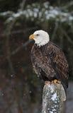 Eagle calvo que se sienta Fotos de archivo libres de regalías