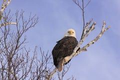 Eagle calvo que se sienta bastante Imagen de archivo
