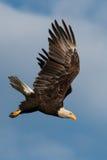 Eagle calvo que se zambulle Fotos de archivo