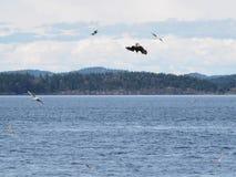 Eagle calvo rodeado por las gaviotas que se zambullen para los pescados Fotos de archivo libres de regalías