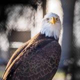 Eagle calvo salvato Immagini Stock