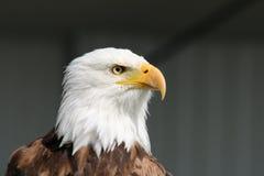 Eagle calvo - simbolo di potere e di forza Fotografia Stock Libera da Diritti