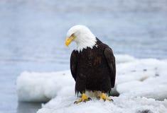 Eagle calvo su ghiaccio, Alaska immagine stock libera da diritti