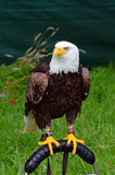 Eagle calvo sul supporto Fotografia Stock Libera da Diritti