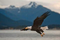 Eagle calvo sull'approccio Immagine Stock