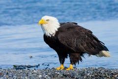 Eagle calvo sulla spiaggia, Alaska immagini stock libere da diritti