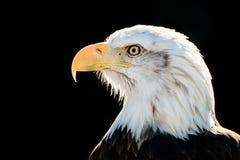 Eagle calvo VI Immagini Stock Libere da Diritti