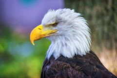 Eagle calvo, vista lateral del primer Fotografía de archivo libre de regalías