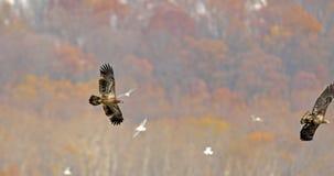 Eagle calvo in volo Fotografie Stock Libere da Diritti