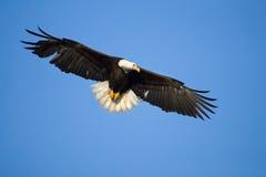 Eagle calvo in volo, l'Alaska immagine stock libera da diritti