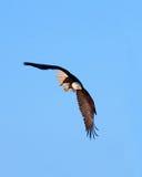Eagle calvo in volo, l'Alaska fotografia stock