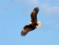 Eagle calvo in volo, l'Alaska fotografie stock