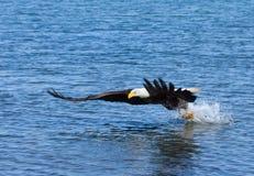 Eagle calvo in volo, l'Alaska immagini stock