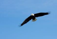 Eagle calvo in volo, l'Alaska immagini stock libere da diritti