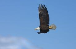 Eagle calvo in volo, l'Alaska fotografia stock libera da diritti