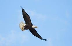 Eagle calvo in volo, l'Alaska fotografie stock libere da diritti