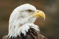Eagle calvo XI Fotografie Stock