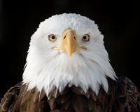 Eagle calvo XIV Immagini Stock