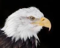 Eagle calvo XVI Fotografia Stock Libera da Diritti