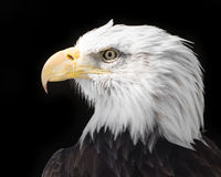 Eagle calvo XVII Immagine Stock
