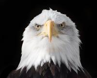 Eagle calvo XVIII Fotografia Stock Libera da Diritti