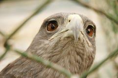 Eagle in captivity royalty free stock photography