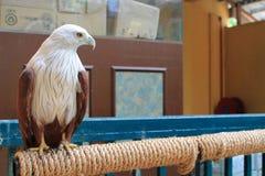 Eagle in captivity Stock Photos