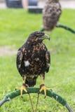 Eagle in captivity Royalty Free Stock Photos