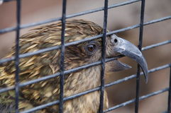Parrot-Eagle Kea in captivity Royalty Free Stock Photography