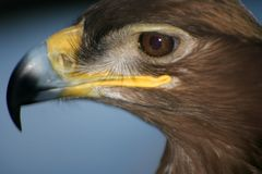 Eagle in captivity. King of the bird kingdom. stock image