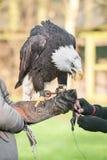 Eagle in captivity Stock Image