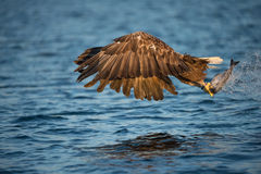 Eagle with Catch. Royalty Free Stock Images