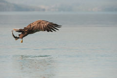 Eagle with Catch Stock Image