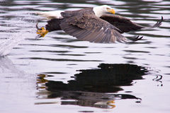 Eagle catches a fish. Royalty Free Stock Photos