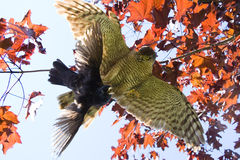 Eagle catching blackbird Royalty Free Stock Photography
