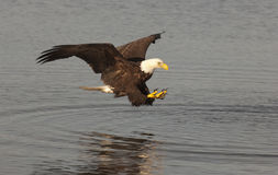 Eagle catching fish Stock Photos