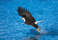 Eagle Catching Fish chauve, Alaska Photographie stock