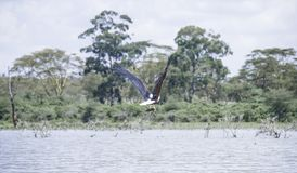 Eagle Catching Fish. In Naivasha, Kenya, Africa Stock Photos