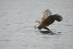 Eagle Catching Prey Royalty Free Stock Image
