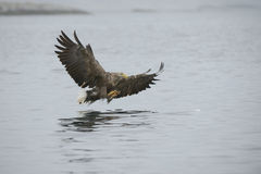 Eagle Catching Prey Stock Photography