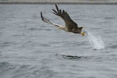 Eagle Catching Prey Stock Photo