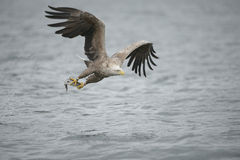 Eagle Catching Prey Stock Image