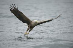 Eagle Catching Prey Royalty Free Stock Photos